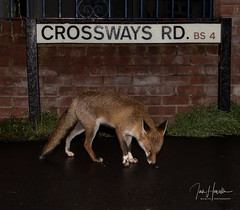 Urban fox (Ian howells wildlife photography) Tags: ianhowells ianhowellswildlifephotography nature naturephotography nationalgeographic night flash canon canonuk wildlife wildlifephotography wild fox foxes urbanfox