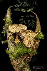 Satanic leaf-tailed gecko (Uroplatus phantasticus) - DSC_7666 (nickybay) Tags: macro africa madagascar andasibe voimma uroplatus phantasticus satanic leaftailed gecko leaf tailed gekkonidae cctv fisheye wideangle