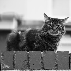 Cat on bricks (David Ian Ross) Tags: disdain warm cool cold cat bricks hot town urban five surly aloof