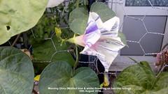 Morning Glory (Mottled blue & white) flowering on balcony railings 10th August 2018 (D@viD_2.011) Tags: morning glory flowering balcony railings 10th august 2018