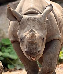 Black Rhino Mara Blijdorp JN6A9580 (j.a.kok) Tags: rhino rhinoceros blackrhinoceros blackrhino zwarteneushoorn neushoorn mara animal africa afrika blijdorp mammal zoogdier dier herbivore