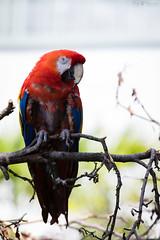 Scarlet macaw (Cloudtail the Snow Leopard) Tags: ara tier animal vogel bird papagei hellroter arakanga macao scarlet macaw parrot zoo stadtgarten karlsruhe