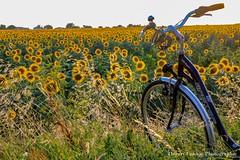 Comment aborder la matinée (thierrycoulon1) Tags: été champ tournesols vélo thierrycoulon chatelaillon canon