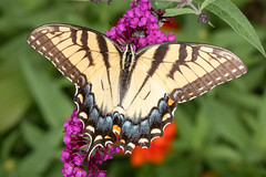 Eastern Tiger Swallowtail (tresed47) Tags: 2018 201807jul 20180731chestercountymacro butterflies canon7dmkii chestercounty content easterntigerswallowtail folder home insects july macro pennsylvania peterscamera petersphotos places season summer swallowtail takenby technical us