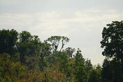 DSC01445.jpg (joe.spandrusyszyn) Tags: circlebbarreserve accipitriformes vertebrate nature haliaeetusleucocephalus eagle animal unitedstatesofamerica accipitridae bird byjoespandrusyszyn polkcounty florida baldeagle haliaeetus seaeagle lakeland