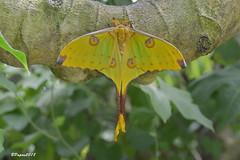 Comète de Madagascar - Argema mittrei / Papillon de nuit (BPBP42) Tags: animal papillon butterfly insecte
