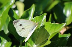 Cabbage White Butterfly (Rick & Bart) Tags: beeckestein cabbagewhitebutterfly vlinder butterfly natuur nature insect largewhite grootkoolwitje cabbage cabbagewhite lahanakelebeği fauna rickbart mariposa rickvink canon eos70d gününeniyisi thebestofday