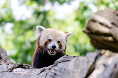 2018-08-03 (silare) Tags: running crawling movement tree branch tongue happy action activity exercise catchlight candid carson redpanda firefox ailurusfulgens endangered animal woodlandparkzoo zoo phinneyridge seattle washington