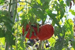 Bio tomato (ПК) Tags: tomato bio macro garden