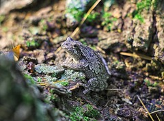 Gray Tree Frog (Steve InMichigan) Tags: graytreefrog treefrog frog canoneosmcamera minoltamd50mmf17 fotgamdeosmlensadapter