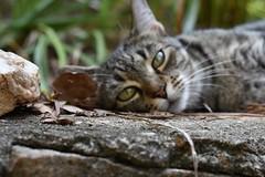 Dreamy Camille (rootcrop54) Tags: camille female mackerel tabby eyecontact neko macska kedi 猫 kočka kissa γάτα köttur kucing gatto 고양이 kaķis katė katt katze katzen kot кошка mačka gatos maček kitteh chat ネコ