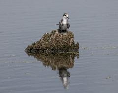 Black Tern (Chlidonias niger or Chlidonias nigra) (mesquakie8) Tags: bird tern flyingandfeeding juvenile blacktern chlidoniasnigerorchlidoniasnigra blte horiconmarshnwr dodgecounty wisconsin 8746