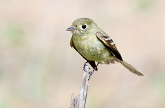 Cordilleran Flycatcher (Empidonax occidentalis); Santa Fe National Forest, NM, Thompson Ridge [Lou Feltz] (deserttoad) Tags: nature newmexico animal bird fauna wildbird songbird flycatcher mountain nationalforest