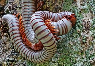 Diplopoda Spirostreptida, Harpagophoridae, Khao Lak, Lamru Nationalpark, Thailand     /    Tausendfüsserpaarung - mating millipeds