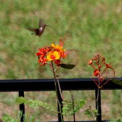 Hummingbird (austexican718) Tags: hummingbird hummer garden flight texas native fauna centraltexas hillcountry wildlife backyard bird