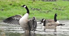 Canada Geese - Wings Stretch - Wetlands at Lamesley (Gilli8888) Tags: nikon p900 coolpix countryside lamesley lamesleypastures tyneandwear nature birds geese canadageese three water wetlands trio wings