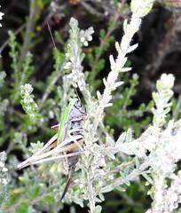 Female Bog Bush Cricket on Padworth Common (dugwin2) Tags: female bog bush cricket metrioptera brachyptera padworth common hampshireberkshire border
