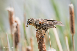 Red-winged Blackbird - Female 501_2012.jpg