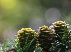 European larch cones (annazelei) Tags: macro plant flora summer natura natural woods forest green cone larix decidua greenwood bokeh plants naturaleza outdoor lights trees pinecone pine