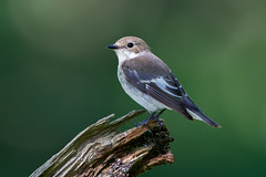 Pied Flycatcher (Simon Stobart) Tags: pied flycatcher female ficedula hypoleuca perched braqnch north east england uk