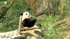 2018_08-16a (gkoo19681) Tags: beibei chubbycubby fuzzywuzzy adorableears brighteyed toofers breakfastboo seatforone comfy sunkissed toocute contentment beingadorable meltinghearts precious amazing darling ccncby nationalzoo
