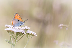 """Pause Cuivrée"" (regisfiacre) Tags: lycaena dispar cuivré des marais papillon butterfly schmetterling farfalle insect insecte insekt bug bugs ailes wings nature sauvage wild wildlife macro macrophoto macrophotography macrophotographie canon 5div mark iv 4 plein format full frame sigma 150mm apo ex dg os hsm moselle france orange"