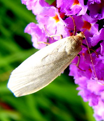 Help identifying please..2 (carlene byland) Tags: garden insect wings white beauty buddlia sunnyday