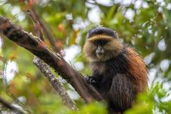 golden monkey (thomas.reissnecker) Tags: ngc safari afrika travel goldenmonkey animal uganda monkey