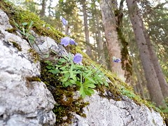 #hiking (Bastian_Schmidt) Tags: hiking nature natur wandern eibsee bavaria bayern germany deutschland samsunggalaxy smartphone blossom blüten flower blume forest wald