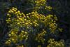 Renfana (Anders Löfgren) Tags: renfana tansy tanacetum chrysantemum vulgare gul yellow flower blomma