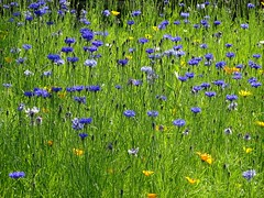 Cornflowers and Californian poppies (Kniphofia) Tags: annuals cornflowers rhsharlowcarr meadow seeds californianpoppies calendula