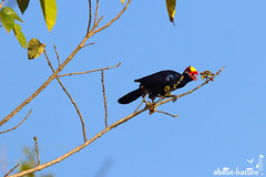 Violet turaco (about-nature) Tags: 100400mm 7d africa africannearpasserines afrika aves bird birds canon canon7d canonphotography eating essen gambia musophaga musophagaviolacea pisangfresser schildturako senegal thegambia tiere violet violetturaco violett vogel vögel westafrika westernafrica turaco violaceousplantaineater westcoastregion gm