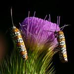 Ailanthus Webworm Moth thumbnail
