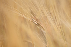 The Barley Dancer (Pog's pix) Tags: crop grain bokeh elegant curves lines golden gold macro detail closeup arty stcyrus aberdeenshire scotland blur selectivefocus shallowdof
