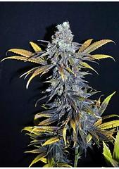 cbd-critical-mass (Watcher1999) Tags: power plant critical mass feminized cannabis vip seeds marijuana trainwreck california medical bob marley growing weed smoking ganja legalize it reggae