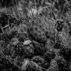 prickly pear cactus (cdnfish) Tags: walhachin britishcolumbia canada ca kamloops kamloopsbc juniperbeachprovincialpark bc cachecreek sony sonya7m2 a7m2 blackandwhite bw cactus pricklypearcactus macro macrophotography