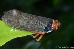 Polydictya sp. (GeeC) Tags: animalia arthropoda cambodia fulgoridae fulgoroidea hemiptera insecta kohkongprovince nature planthoppers poiocerinae polydictya tatai