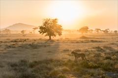 Cheetah in sunrise ([P]hotogr[AV] (on/off)) Tags: acinonyxjubatus ngorongoroconservationarea tanzania cheetah jachtluipaard landscape light morninghaze sunrise wildlife yellow