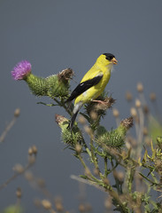 American Goldfinch thistle (brian.magnier) Tags: new jersey nature wildlife animals outdoors