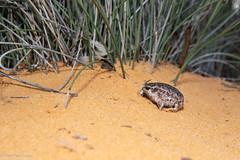 Southern Sandhill Frog (Arenophryne xiphorhyncha) (BenParkhurst) Tags: 2018 sand pastoralstation southernsandhillfrog benparkhurst frog midwestwa animal small fossorial burrowing eurardy bungabandicreek swordsnouted arenophrynexiphorhyncha myobatrachidae pastoral amphibian wa fauna eurardyreserve conservation westernaustralia australia