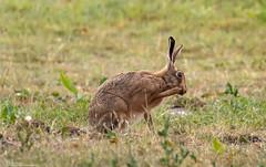 Brown Hare Preening (Steve (Hooky) Waddingham) Tags: animal wild wildlife countryside nature run fast brown