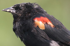 Red-winged Blackbird (Terrance Carr) Tags: dncb tfn 20180813 reifel 2018 august terry carr terrycarr