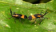Leaf-mining beetles mating, Sceloenopla sp., Cassidinae (Ecuador Megadiverso) Tags: andreaskay beetle cassidinae chrysomelidae coleoptera ecuador leafminingbeetle mating sceloenopla