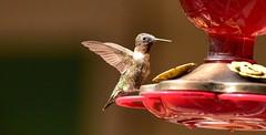 Hummingbird_1766c (Porch Dog) Tags: 2018 garywhittington hummingbird nikond750 nikkor200500mm backyard birdfeeder feathers nature summer wildlife