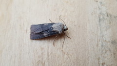 20180814_065928 (Paul Young1) Tags: shuttleshapeddart agrotisputa noctuidae 1 one single moth moths animal animals insect insects insecta arthropod arthropods arthropoda lepidoptera nature wild wildlife uk british britain perched perching close study imago unitedkingdom closeup top topview closed wings