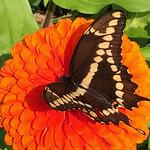 Zinnia with Eastern Giant Swallowtail (Papilio cresphontes) thumbnail