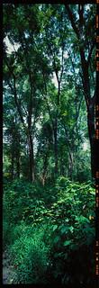 Tall Trees on 6x17 Velvia 100