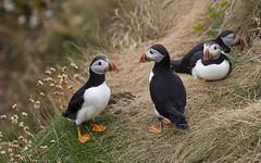 Puffins. (richard.mcmanus.) Tags: puffins bird northatlanticpuffin staffa staffaisland britishwildlife scotland mcmanus richardmcmanus