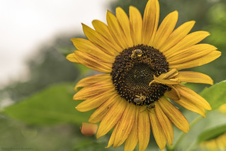 Yellow, Orange, Brown, and Black: Sunflower and Bees in NYC