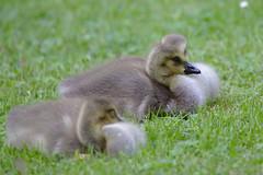 Canada goslings (stanzebla) Tags: canadagoose goslings kanadagans brantacanadensis bernacheducanada birds schlossgartenschwetzingen